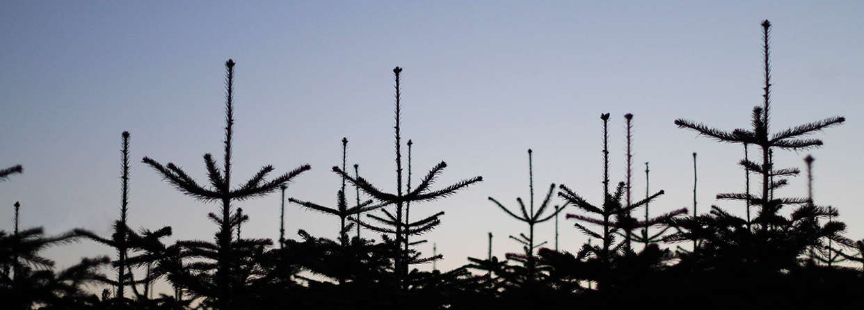 Noble Nordmann Christmas Trees